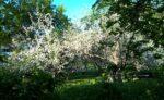 Kuvituskuva omenapuita